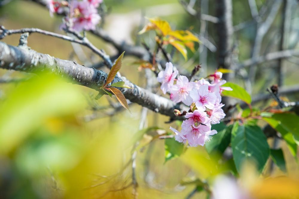 烏山頭水庫櫻花